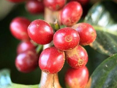 重庆咖啡师培训选用西达摩咖啡豆的原因