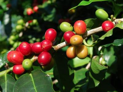 重庆咖啡培训探讨咖啡的几大产地
