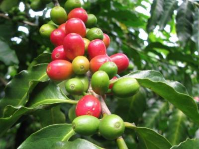 重庆沙坪坝咖啡培训学校讲述肯尼亚咖啡的特色